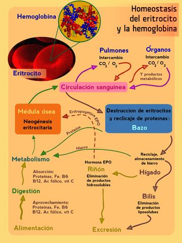 homeostasis y medio interno