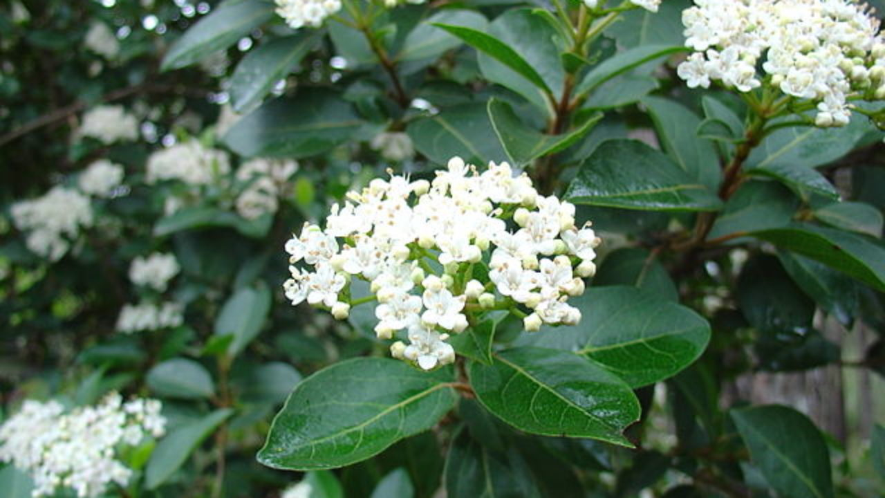 Viburnum lucidum: características, hábitat, propiedades, cultivo ...