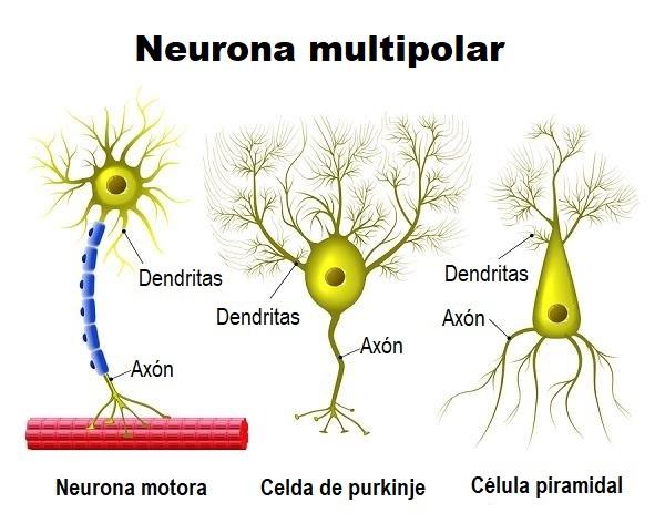 Neurona Multipolar Funciones Tipos Anatomía