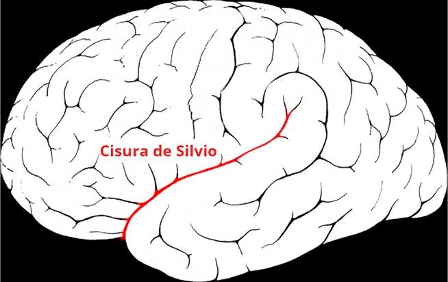 Cisura De Silvio Caracteristicas Localizacion Funciones Lifeder