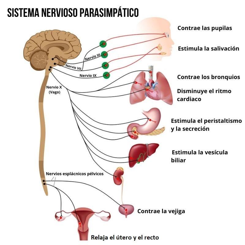 Sistema Nervioso Parasimpático Funciones Neuronas Divisiones