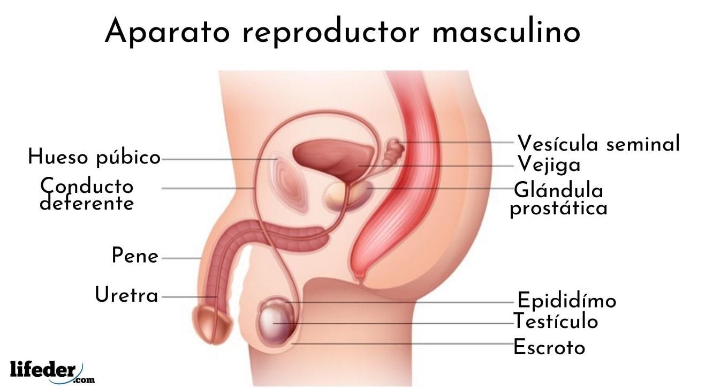 Aparato Reproductor Masculino Funciones Partes Enfermedades