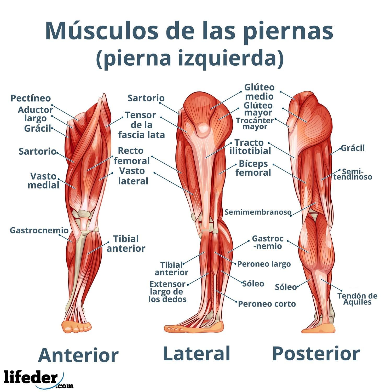 Músculos De La Pierna Descripción Y Funciones Imágenes